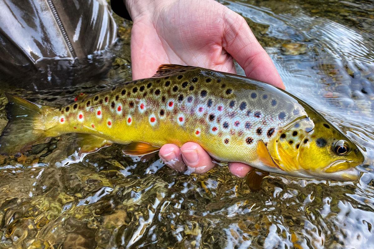 Bachforelle Fliegenfischen - Auf die Genetik kommt es an!